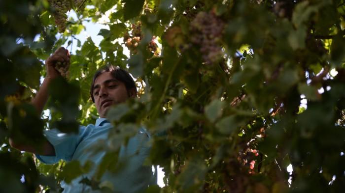 PAKISTAN-AGRICULTURE-WINE